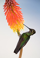 One of the larger hummingbird species found in the central highlands.