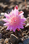 The pink colored Bitterroot Flower is Montana's state wildflower. It grows leafless and low to the ground on dry rocky soil