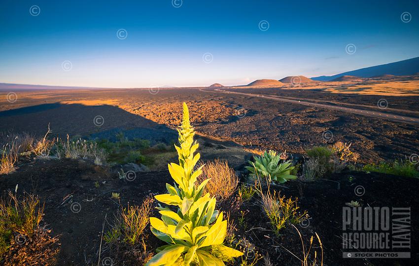A ground-level view of Pu'u Huluhulu Native Tree Sanctuary in the morning light, Saddle Road, Hawai'i Island.
