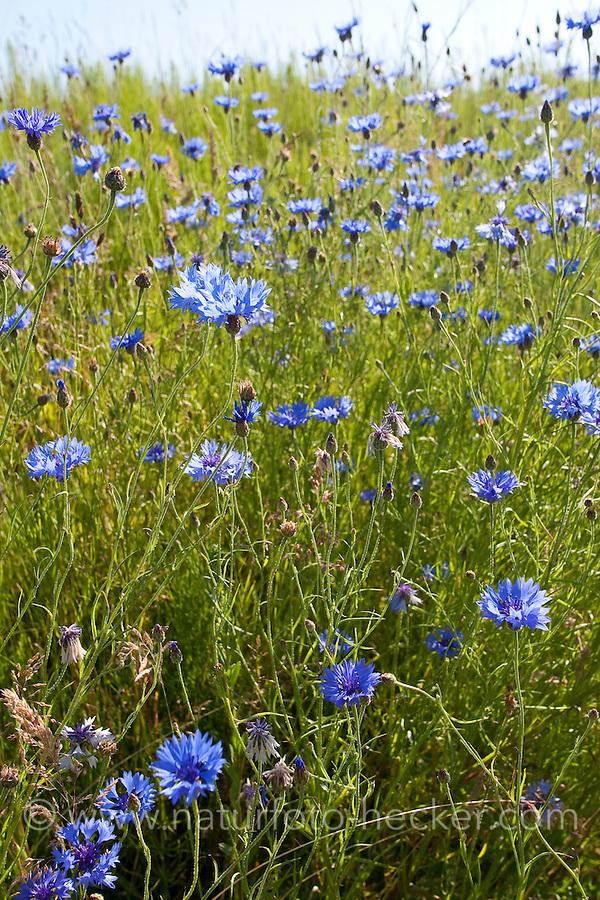Kornblume, Korn-Blume, Zyane, Cyanus segetum, Centaurea cyanus, Cornflower, Bachelor´s Button