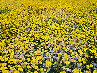 Field of Hillside Daisies (Monolopia lanceolata) and blue Devil&rsquo;s Lettuce or Fiddleneck (Amsinckia tessellata)<br />