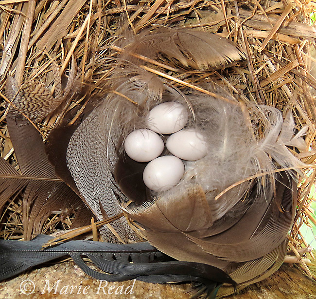 Tree Swallow (Tachycineta bicolor) nest containing 4 eggs, with feathers as nest lining, Ithaca, NY, USA