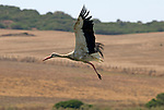Juvenile White Stork in flight, Andalucia,Spain.