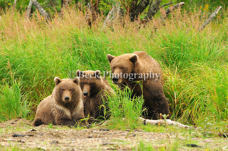 Alaska grizzly bears in the fall
