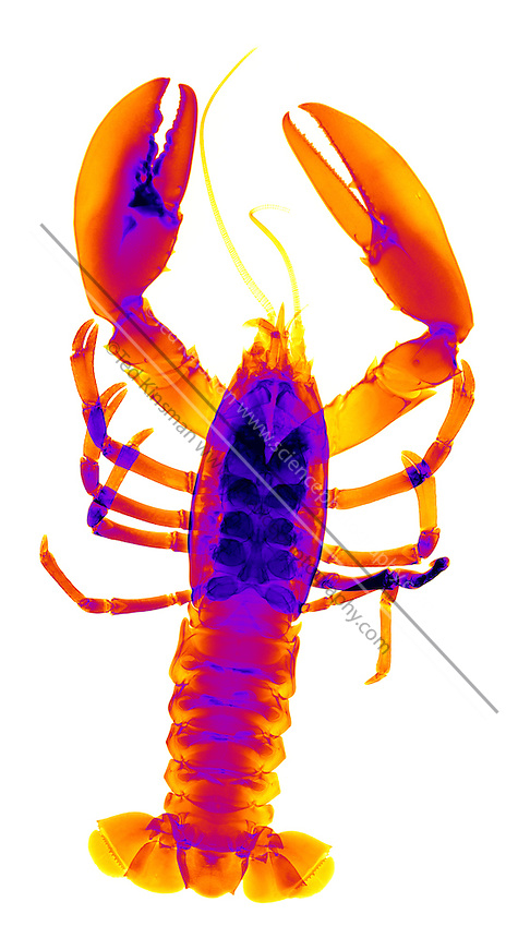 An X-ray of an American Lobster (Homarus americanus)