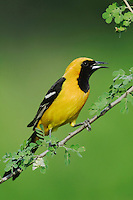 Hooded Oriole, Icterus cucullatus, male calling on Catclaw (Acacia greggii), Willacy County, Rio Grande Valley, Texas, USA