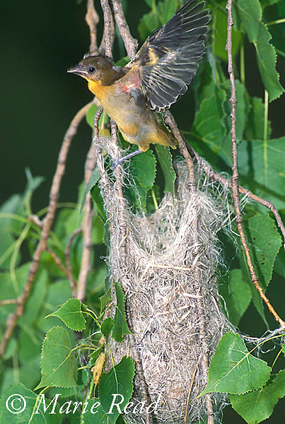 Baltimore Oriole (Icterus galbula) fledgling, flapping wings, leaving the nest, Ithaca, New York, USA<br /> Slide # B166-301