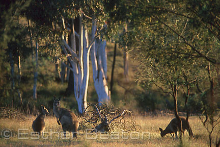 Grey Kangaroos feeding in early morning on border of woodlands, Scribbly Gums. Mulligan's Flat Nature Reserve,  Canberra, Australian Capital Territory