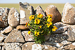 Yellow flowers of wallflower plant, Erysimum cheiri, growing on dry stone wall, Holy Island, England, UK