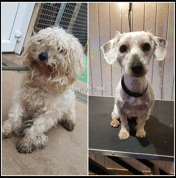 BNPS.co.uk (01202 558833)<br /> Pic: ARK/BNPS<br /> <br /> Found on New Years day - unfortunate Douglas before/after his trim.<br /> <br /> Douglas the Bichon Free-ze is looking for a warm home...<br /> <br /> Drastic action had to be taken to help save Douglas the Bichon Frise after the unfortunate pooch was found abandoned on New Years day with a heavily matted coat.<br /> <br /> Staff at Ardley Rescue had to shear off all his unkempt fur leaving Douglas shivering and shorn and now looking for a warm home to look after him.<br /> <br /> The dog was in such a sad state that staff at the Rescue Kennels, in Bicester, Oxon, were not sure what breed he was until they removed his mass of matted fur<br /> <br /> Douglas now has to wear a jumper and a coat to keep him warm until his fur grows back.