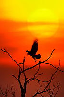 51158058 a wild crested caracara caracara plancus silhoueted by the sun takes flight from a dead snag at sunset on a private ranch in the rio grande valley of south texas