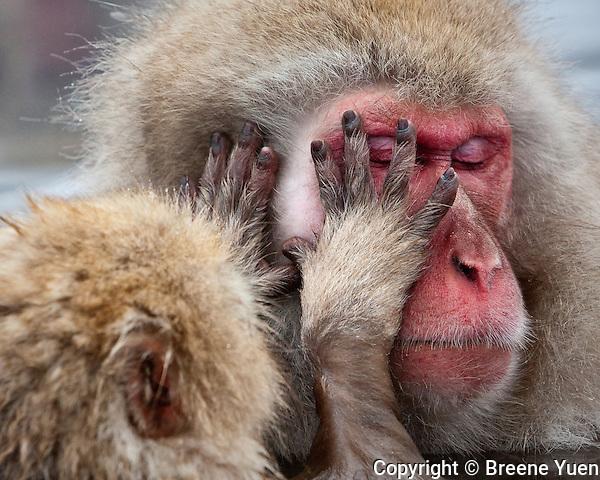 Grooming at Jigokudani Snow Monkey Park, near Nagano, Japan, February 2008