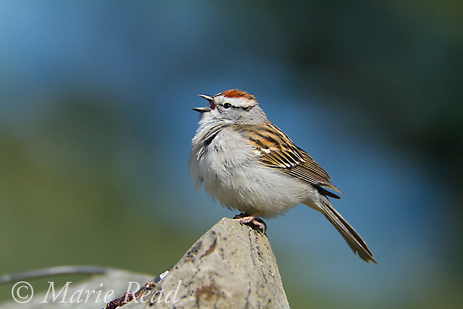 Chipping Sparrow (Spizella passerina) male singing in spring, Interlaken, New York, USA