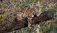 BNPS.co.uk (01202 558833)<br /> Pic: IanTurner/BNPS<br /> <br /> I need a lie down..mum Yana takes a break.<br /> <br /> The endangered Amur tiger cubs - the world's largest big cats – have been seen by visitors for the first time at the Longleat Safari Park.<br /><br />And the precocious pair were soon frollicking in the autumn sunshine whilst playing in the fallen leaves, and pouncing on their long suffering mother Yana.<br /> <br /> The male called Rusty and a female called Yuki, are part of a European wide breeding programme for the endangered sub-species.<br /><br />Native to the far east of Russia, the Amur tiger is the largest of the big cats and can weigh up to 300 kg and measure more than three metres in length. <br /><br />In the 1930s the tigers had nearly died out due to hunting and logging. At one stage it is thought the population fell as low as just 20–30 animals. <br /> <br /> Although they are still under severe threat their status was officially changed from Critically Endangered to Endangered in 2007.