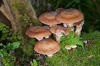 Gewöhnlicher Hallimasch, Dunkler Hallimasch, Halimasch, Honigpilz, Honig-Pilz, Armillaria solidipes, Armillaria ostoyae, Armillariella polymyces, Dark Honey Fungus, honey mushroom
