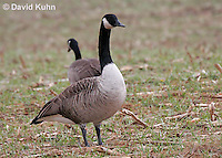 0101-1002  Pair of Canadian Geese Feeding in Corn Harvested Corn Field, Branta canadensis  © David Kuhn/Dwight Kuhn Photography