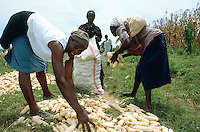 Kenya. Rift Valley Province. Matisi. A group of women pick up by hands cobs of maize during the harvesting time.  © 2004 Didier Ruef