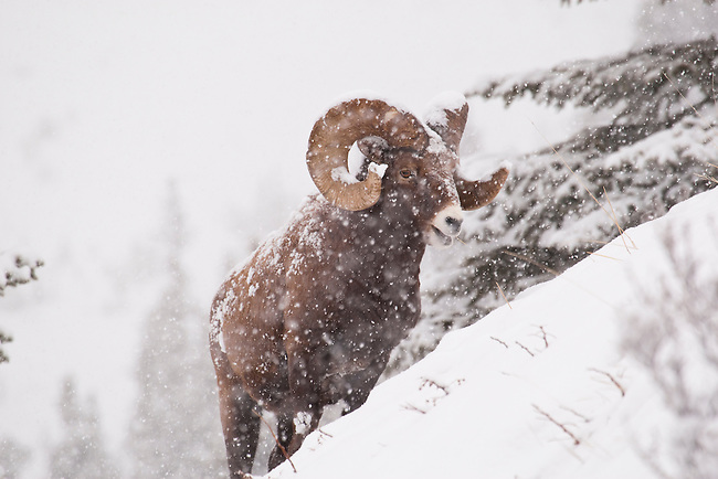 A mature big horn sheep during a snowstorm seen in Jasper National Park, Alberta Canada, on Jan 28, 2011.  Photo by Gus Curtis