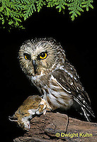 OW03-104z  Saw-whet owl - with mouse prey - Aegolius acadicus