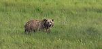 Grizzly bear in Yellowstone Natonal Park