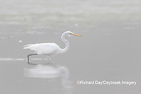 00688-02305 Great Egret (Ardea alba) in wetland in fog, Marion Co., IL