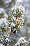 USA, Wyoming, Yellowstone National Park, detail of a pine at Old Faithful, the Upper Geyser Basin