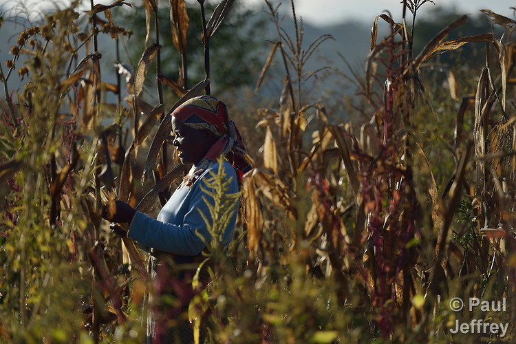 Kesinary Vinkhumbo harvests corn on her farm in Edundu, Malawi. She and other farmers in the village have benefited from intercropping and crop rotation practices they learned from the Malawi Farmer-to-Farmer Agro-Ecology project of the Ekwendeni Mission Hospital AIDS Program, a program of the Livingstonia Synod of the Church of Central Africa Presbyterian.