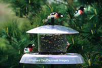 01539-007.08 Rose-breasted Grosbeaks (Pheucticus ludovicianus) at feeder, Marion Co.   IL