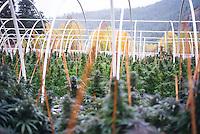 Legal recreational medical marijuana cannabis weed pot photos Seattle and Washington state