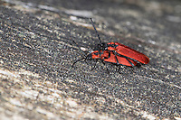 Rüssel-Rotdeckenkäfer, Rotdeckenkäfer, Rotdecken-Käfer, Paarung, Kopulation, Kopula, Lygistopterus sanguineus, Net-winged beetle, copulation, Lycidae