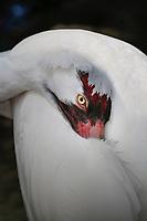 Whooping Crane, Grus americana, an endangered species. (captive breeding program at Homosassa Springs Wildlife State Park, FL)