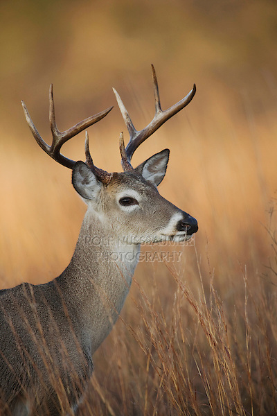 White-tailed Deer (Odocoileus virginianus), Sinton, Corpus Christi, Coastal Bend, Texas, USA