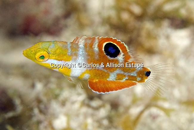 Halichoeres radiatus, Puddingwife, juvenile, Florida Keys