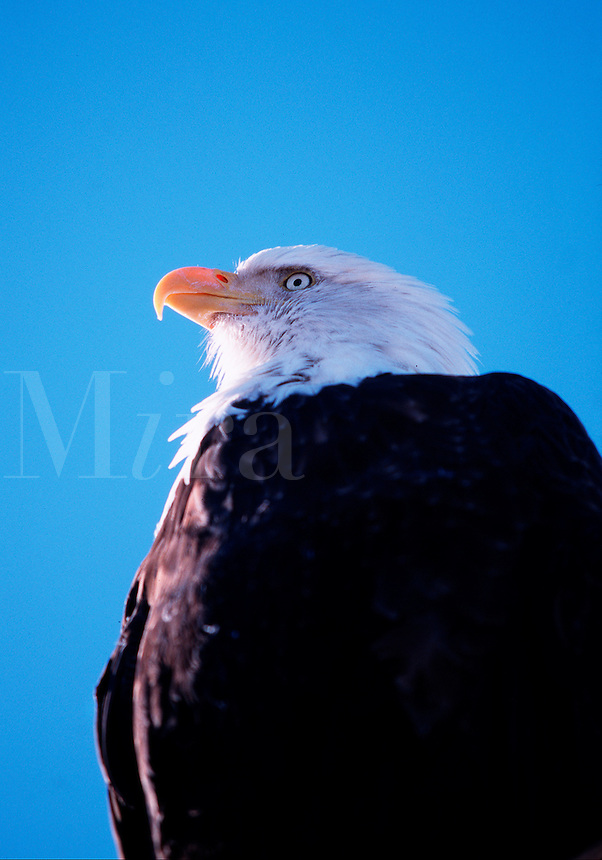 Portrait of the head and chest of a Bald eagle (H. Leucocephalus).