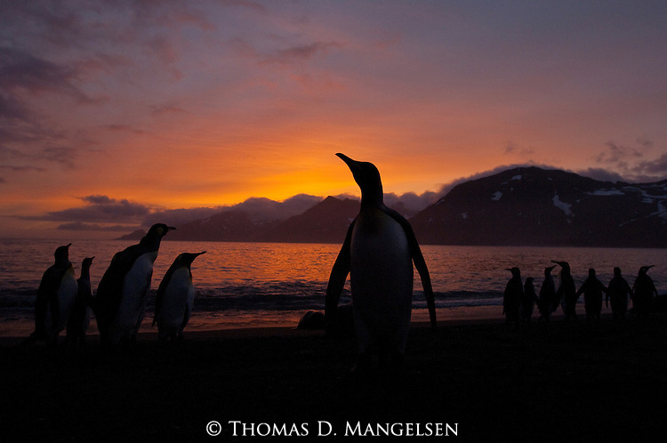 King penguins are silhouetted on the beach of Gold Harbour at sunrise on South Georgia Island.