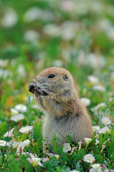 Young Black-tailed Prairie Dog (Cynomys ludovicianus) eating a blade of grass in early summer while surrounded by morning-glory wildflowers