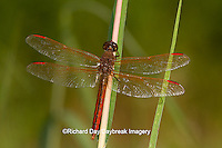 06612-00107 Golden-winged Skimmer dragonfly (Libellula auripennis) male perched near wetland, Marion Co., IL