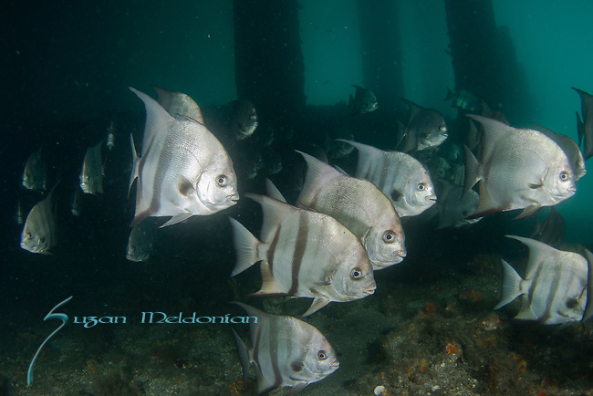 Spadefish, Atlantic Spadefish, Chaetodipterus faber under the Bridge