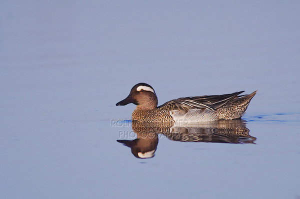 Garganey, Anas querquedula, male swimming, National Park Lake Neusiedl, Burgenland, Austria, April 2007