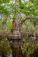 The Atchafalaya Basin, or Atchafalaya Swamp, is the largest wetland and swamp in the United States. Located in south central Louisiana, it is a combination of wetlands and river delta area where the Atchafalaya River and the Gulf of Mexico converge. The river stretches from near Simmesport in the north through parts of eight parishes to the Morgan City southern area.<br /> <br /> The Atchafalaya is different among Louisiana basins because it has a growing delta system with wetlands that are almost stable. The basin contains about 70% forest habitat and about 30% marsh and open water. It contains the largest contiguous block of forested wetlands remaining in the lower Mississippi River valley and the largest block of floodplain forest in the United States. Best known for its iconic cypress-tupelo swamps, at 260,000 acres, this block of forest represents the largest remaining contiguous tract of coastal cypress in the US.