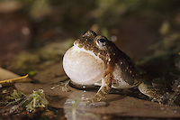 Cliff Chirping Frog, Eleutherodactylus marnockii, male at night calling, Uvalde County, Hill Country, Texas, USA, April 2006