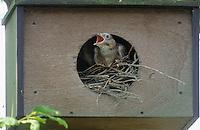 Eichelhäher, Nest in einem Nistkasten, Küken, Jungvogel bettelnd, sperrend, Eichel-Häher, Häher, Garrulus glandarius, jay