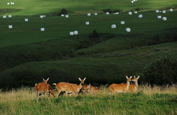 Wild deers at Soya Kyuryo or Soya hills near Cape Sōya, which is the northernmost point of Japan.<br /> <br /> Cerfs sauvages à Soya Kyuryo ou sur les collines de Soya près du cap Sōya, le point le plus septentrional du Japon.