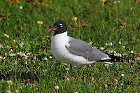Laughing Gull, Rockport, Texas