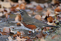 American Robins are industrious and authoritarian birds that bound across lawns or stand erect, beak tilted upward, to survey their environs.