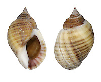 Dog Whelk - Nucella lapillus