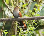 Squirrel cuckoo, Piaya cayana nigricrissa. Tandayapa Valley, Ecuador
