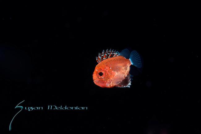 Short Bigeye- larval; Pristigenys alta, Black water Planktonic marine animals, Black Water Dive, Gulfstream Current, Atlantic Ocean, Florida