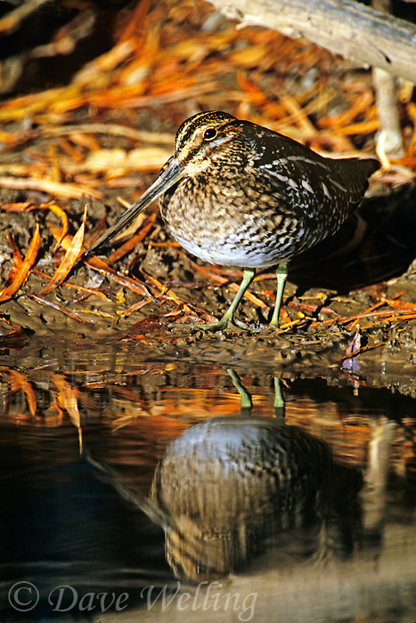 578636010 a wilsons snipe gallinago delicata stands beside a small pond in fall colored leaf litter at bosque del apache national wildlife refuge in new mexico