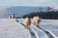 Lonk ewes in snow, Dinkling Green Farm, Whitewell, Lancashire.